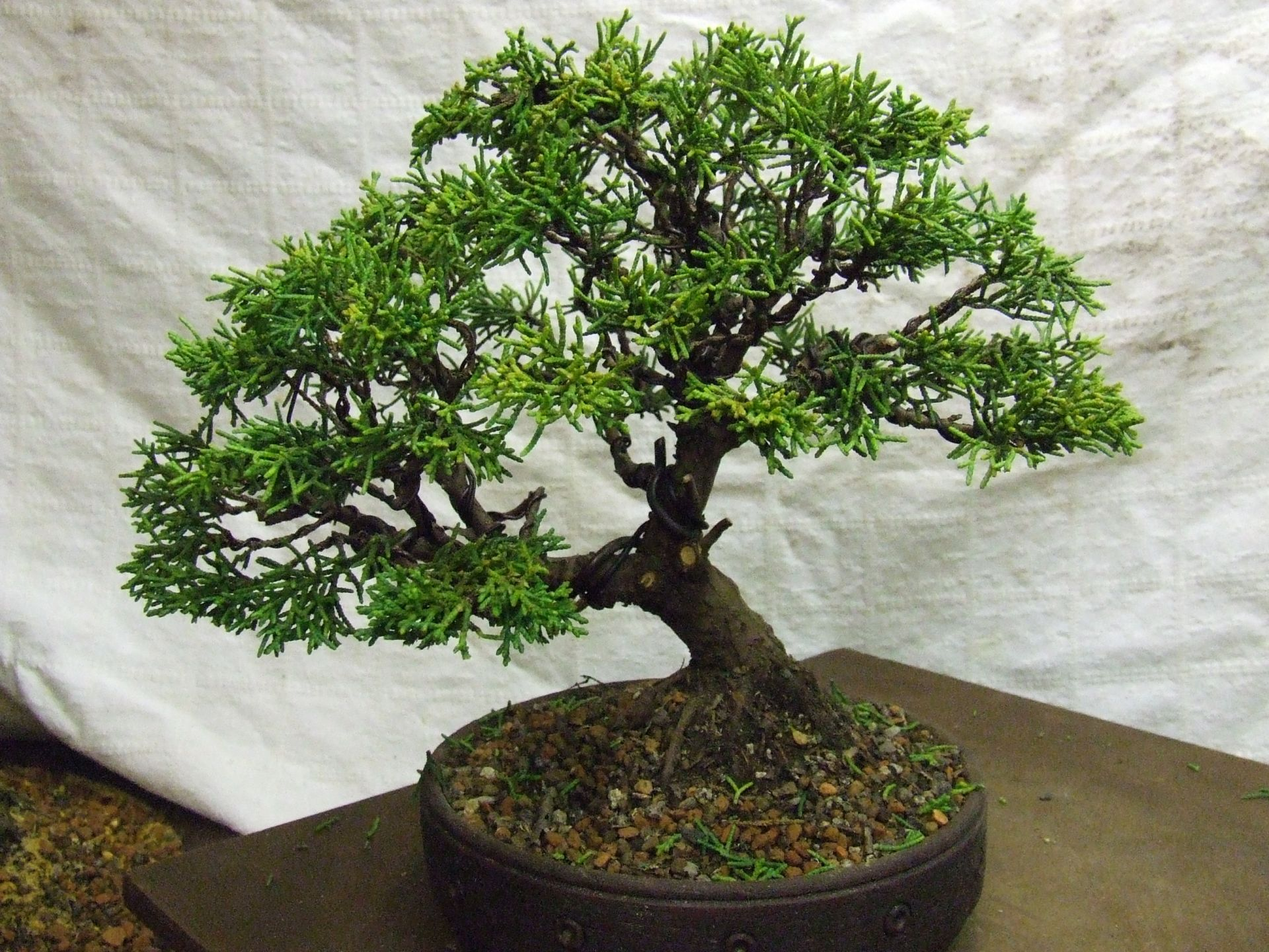Ronin Bonsai February 2013