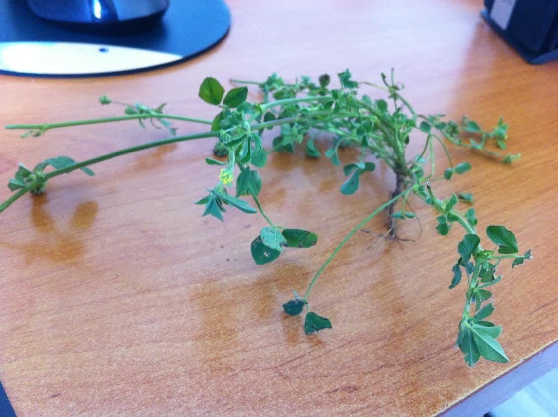 Plante invasive pelouse plantes myst res - Combien de temps pousse le gazon ...
