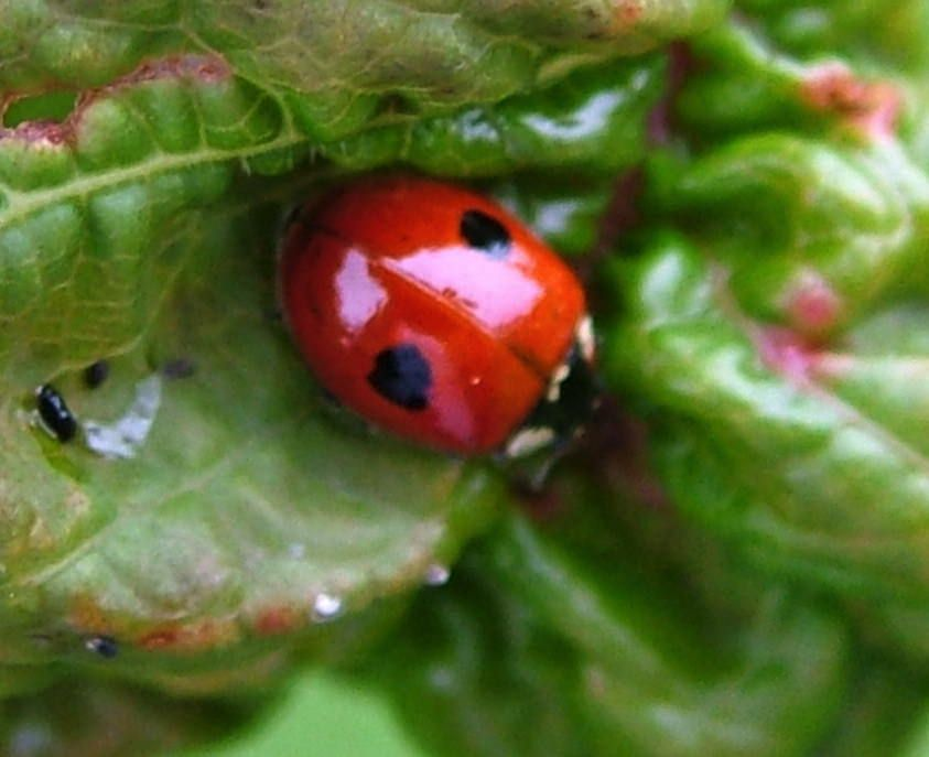 2 Spot Ladybird C Jim Rae