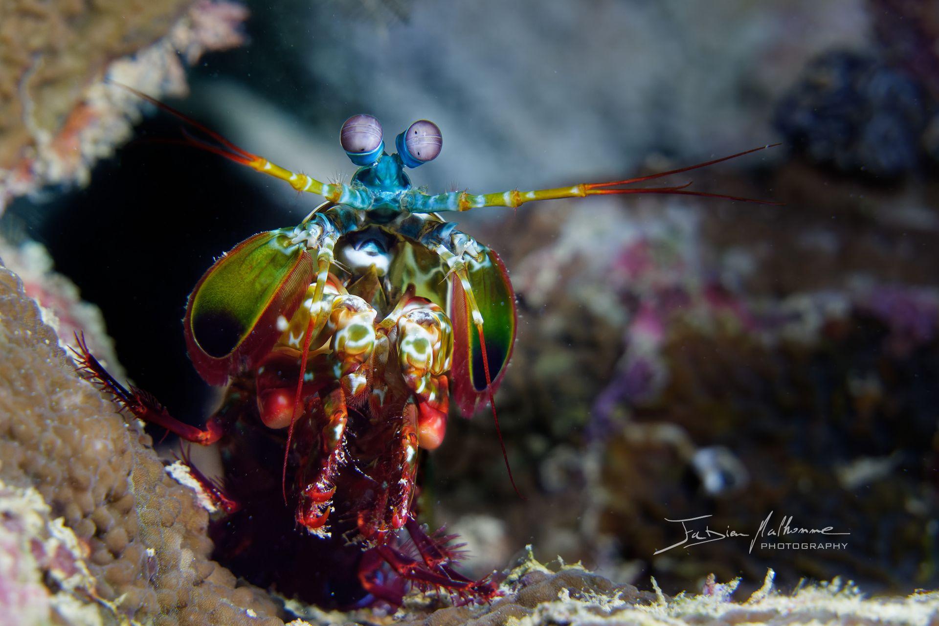 Photographier le monde marin - Squille Multicolore