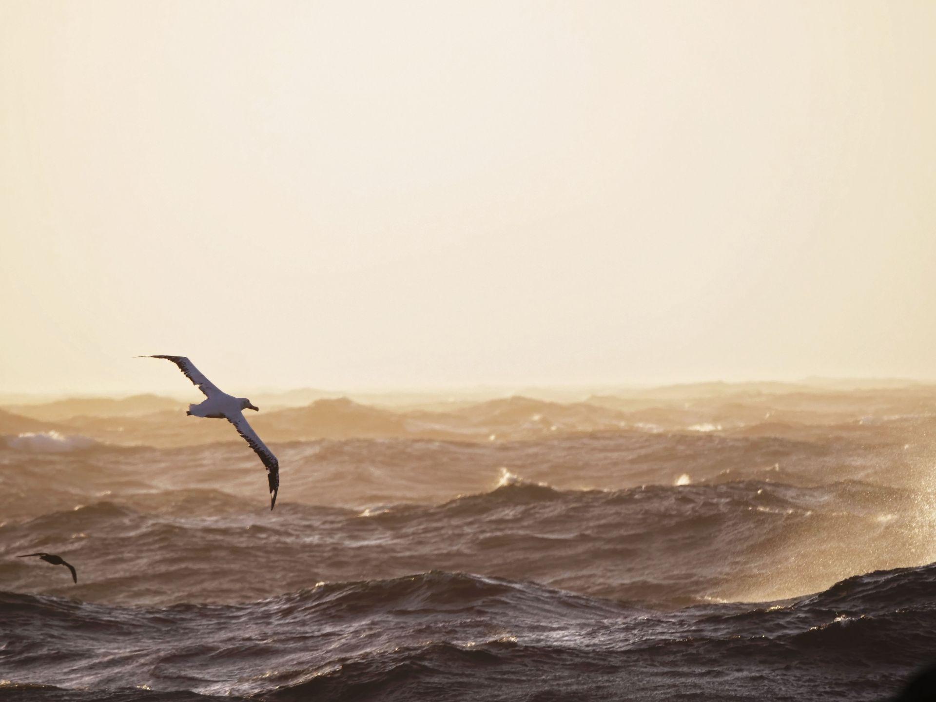 Albatros dans les 40ème rugissants
