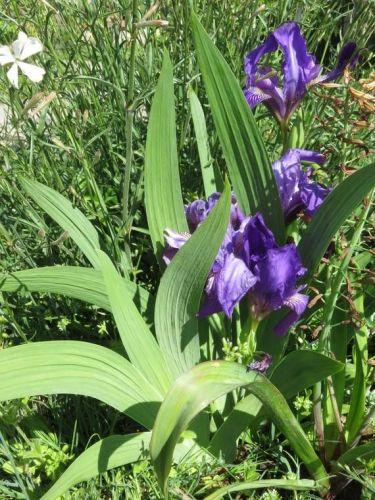 Iris 2015 5540d3c6213e8