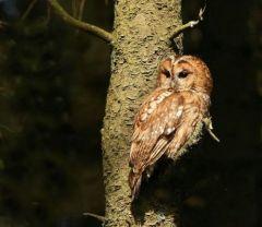 Tawny Owl © Susan Storm