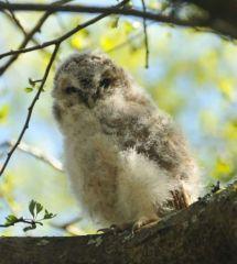 Tawny Owlet © Jim Rae