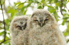 Tawny Owlets © Jim Rae