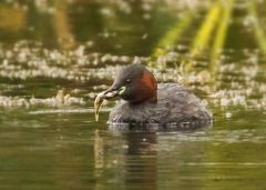 Little Grebe © Bob Litte