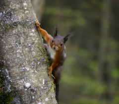 Red Squirrel © Sybille Spägele