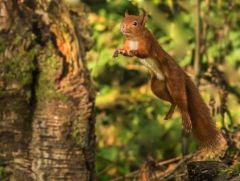 Red Squirrel - leaping © Bob Little