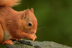 Red Squirrel © Jim Rae