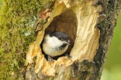 1. Willow Tit at entrance to nest 29.05.13 © Jim Rae