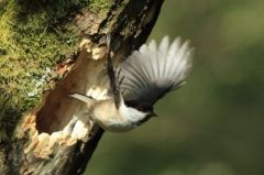 2. Willow Tit leaving nest 26.05.13 © Tom Langlands