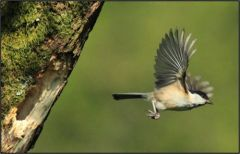 3. Willow Tit flying off to collect food © Jim Rae