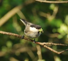 4. Willow Tit gathering food 02.06.13 © Jim Rae