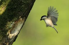 5. Willow Tit returning to nest with food 26.05.13 © Tom Langlands
