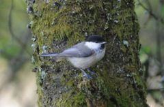 Willow Tit © Jim Rae