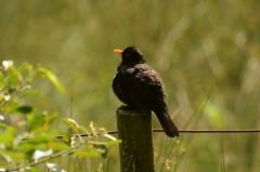 Blackbird (juvenile) © Jim Rae