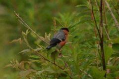 Bullfinch (male) © Jim Rae