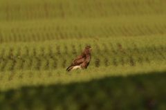 Buzzard in winter wheat © Jim Rae