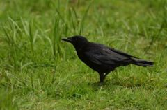 Carrion Crow © Jim Rae