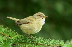 Chiffchaff © Andrina Laidler