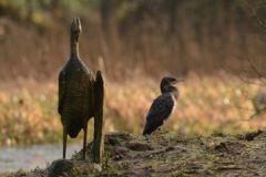 Cormorant © Jim Rae