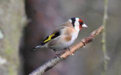 Goldfinch © Jim Rae