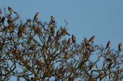 Flock of Fieldfares © Jim Rae