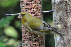 Greenfinch © Jim Rae