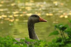 Greylag Goose © Jim Rae