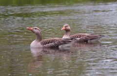 Greylag Geese © Jim Rae