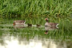 Greylag Geese and two goslings © Jim Rae