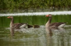 Greylag goslings © Jim Rae