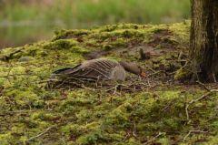 Greylag Goose (nesting) © Jim Rae