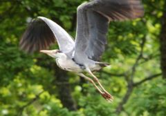 Grey Heron © Jim Rae