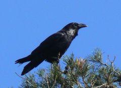 Raven © Jim Rae