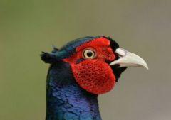 Pheasant © Jim Rae