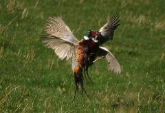 Pheasants fighting © Sybille Spägele