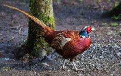 Pheasant © Bob Little