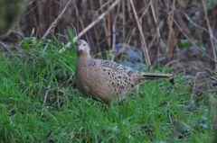 Pheasant (female) © Jim Rae