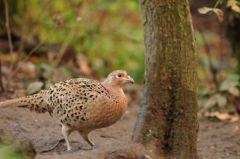 Pheasant (female)© Jim Rae