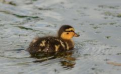 Mallard duckling, three days old © Jim Rae