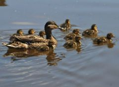 Mallard ducklings © Jim Rae