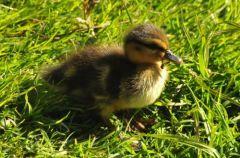 Mallard duckling © Jim Rae